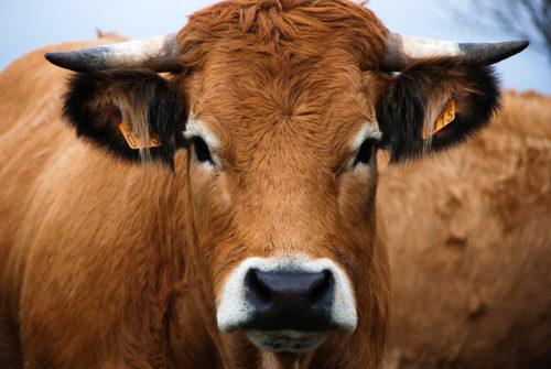 Le regard d'une vache